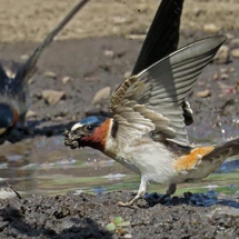 1_cliff_swallows