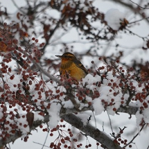 6_winter_birds_and_berries