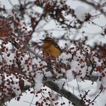 6_winter_birds_and_berries