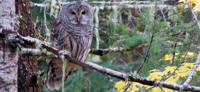http://www.palouseaudubon.org/wp-content/uploads/2016/09/Barred-Owl-in-Autumn72-c.jpg