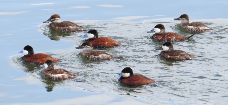 http://www.palouseaudubon.org/wp-content/uploads/2016/09/Easter-Weekend-Ruddy-Ducks2-1.jpg