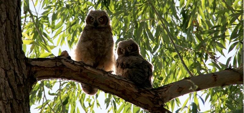 http://www.palouseaudubon.org/wp-content/uploads/2016/09/Fledgling-Owls2-c.jpg
