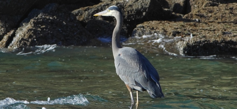 http://www.palouseaudubon.org/wp-content/uploads/2016/09/Great-Blue-Heron-on-the-ocean2-c.jpg
