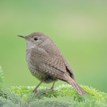 House-Wren-On-An-Evergreen-Shrub2