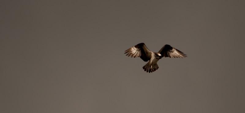 http://www.palouseaudubon.org/wp-content/uploads/2016/09/Hunting-Osprey2-c.jpg