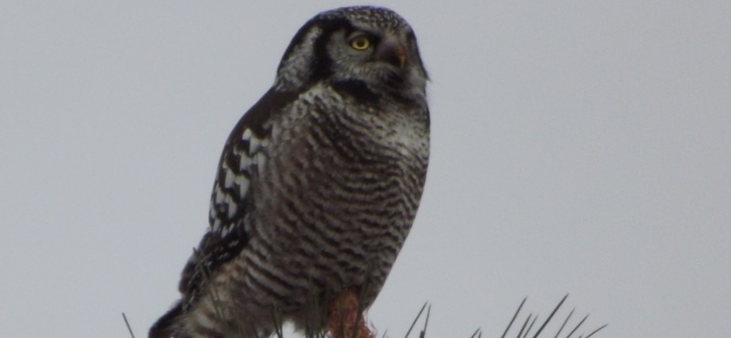 http://palouseaudubon.org/wp-content/uploads/2016/09/Northern-Hawk-Owl2-c.jpg