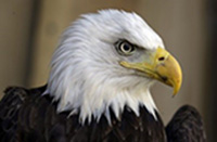 conservation_eagle