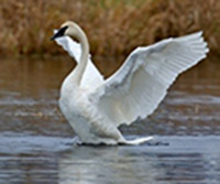 conservation_swan