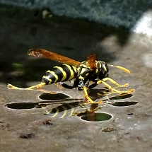 2015-first-place-other-nature-terry-gray-paper-wasp-drinking-in-bird-bath