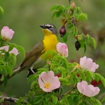 2015-second-place-birds-jerry-cebula-yellow-breasted-chat