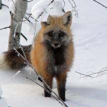 2015-second-place-other-wildlife-sandy-klingler-mccall-fox