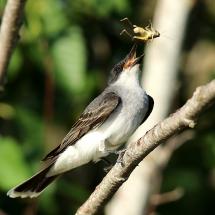 2016-first-place-birds-charles-wheeler-e-kingbird