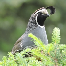 "Second Place Birds: Nancy Laduke ""California quail"""