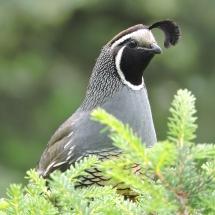 "Second Place Birds: Nancy Laduke ""California quail"""