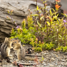 1st-Wildlife-Schutt- Ground Squirrels Wrestling Match