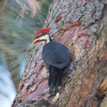 2nd Birds- Amesbury-Pileated Woodpecker