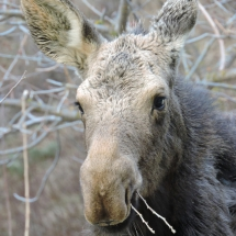 2nd-Wildlife-LaDuke-Signs of Spring- Yearling Cow Moose
