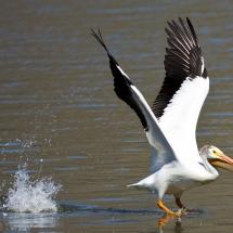 'American White Pelican' by Janine Schutt of Bremerton, Washington