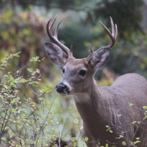 'Curious Deer' by Heather Marney of Pullman, Washington