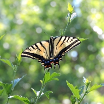 'Two Tails are Better Than One, Two-tailed Swallowtail' by Nancy LaDuke of Viola, Idaho