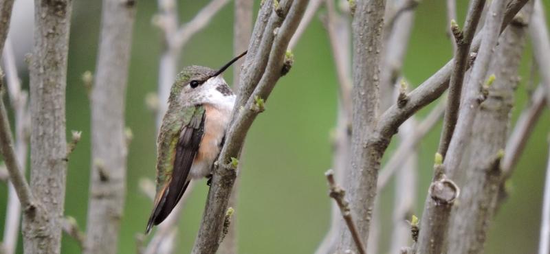 https://palouseaudubon.org/wp-content/uploads/2016/09/Calliope-Hummingbird2-c.jpg