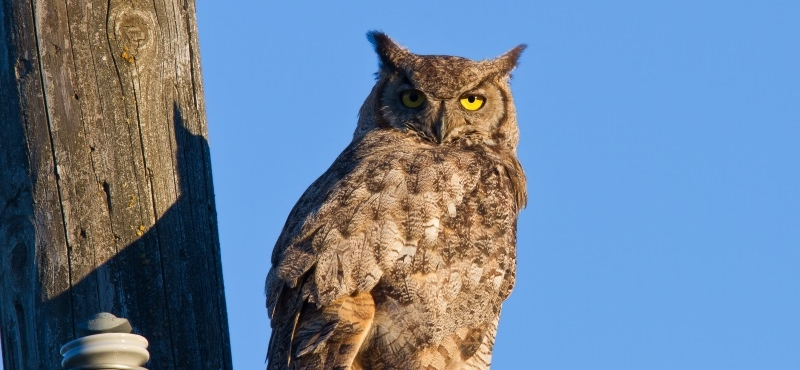 https://palouseaudubon.org/wp-content/uploads/2016/09/Great-Horned-Owl2-c.jpg