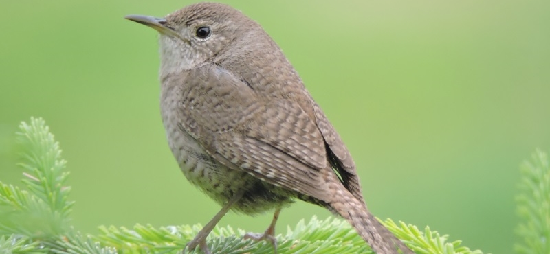 https://palouseaudubon.org/wp-content/uploads/2016/09/House-Wren-On-An-Evergreen-Shrub2-c.jpg