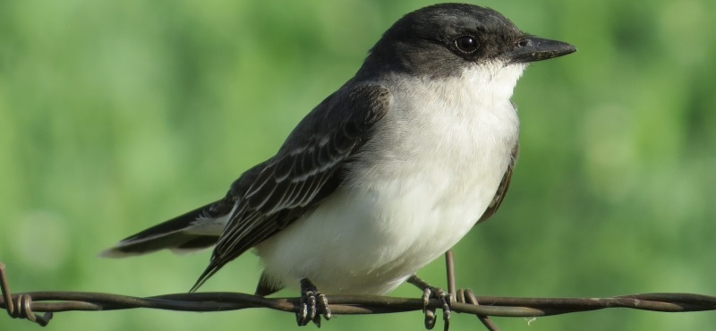 https://palouseaudubon.org/wp-content/uploads/2016/09/Kingbird2-c.jpg
