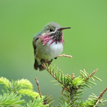 2015-first-place-birds-nancy-laduke-a-tiny-jewel-calliope-hummingbird