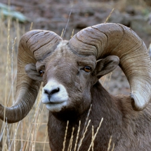 2015-First-Place-Other-Wildlife-Charlie-Wheeler-Bighorn