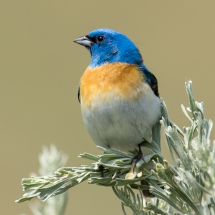 1st Birds-Best of Show-Thompson-Lazuli Bunting
