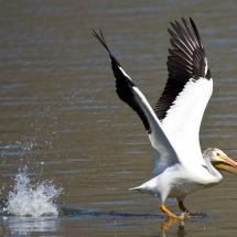 'American White Pelican' by Janine Schutt of Bremerton, Washington