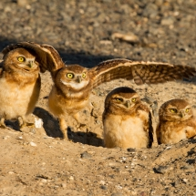 'Burrowing Owlets' by Mick Thompson of Redmond, Washington